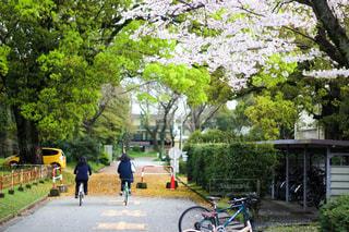 桜の写真・画像素材[514117]