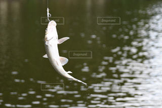 バス釣りの写真・画像素材[734520]