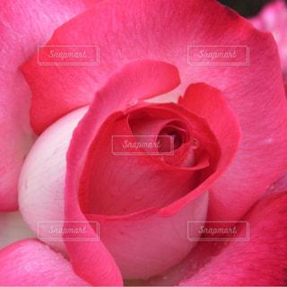 雨上がりのバラの写真・画像素材[827087]