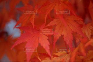 紅葉の写真・画像素材[831982]