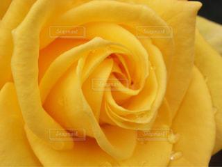 雨上がりのバラ - No.832033