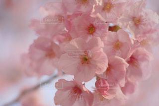 満開の桜の写真・画像素材[1070152]