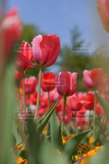 満開のチューリップ畑の写真・画像素材[1144637]