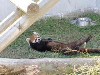 レッサーパンダの写真・画像素材[1194810]