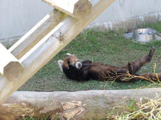 レッサーパンダの写真・画像素材[1194814]