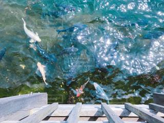 水の中の鯉 - No.733460