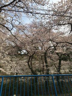 桜の写真・画像素材[744894]