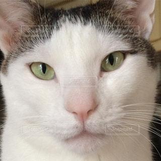 見つめる猫の写真・画像素材[733352]