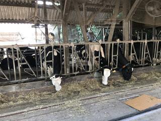 榎本牧場の牛の写真・画像素材[733477]