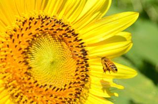 向日葵と蜜蜂の写真・画像素材[757712]