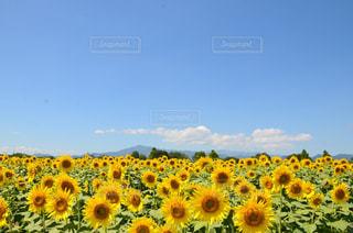 晴天の向日葵の写真・画像素材[760662]