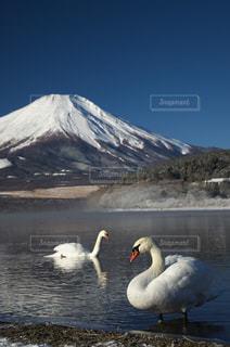 富士と白鳥その2の写真・画像素材[766481]