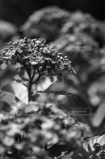 紫陽花の写真・画像素材[785930]