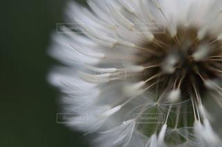 雨に濡れた綿毛の写真・画像素材[867104]