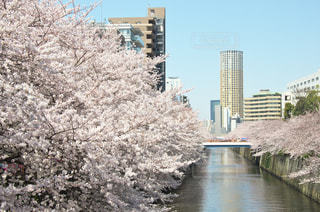 目黒川の桜 - No.963723