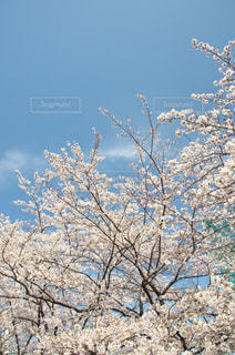 春は桜の写真・画像素材[963727]