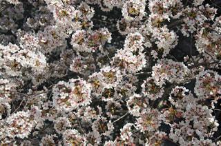 上からの桜 - No.963732