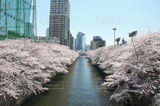 目黒川の桜の写真・画像素材[963733]