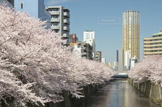 目黒川の桜の写真・画像素材[963852]