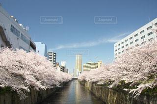 目黒川の桜の写真・画像素材[963853]