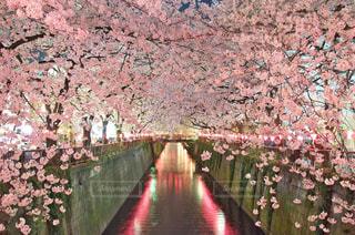 満開の夜桜 - No.968238
