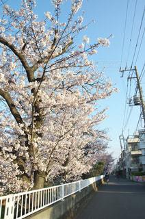 元住吉の桜 - No.968240
