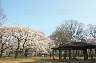 代々木公園の桜の写真・画像素材[968241]