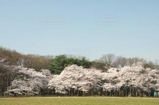 代々木公園の桜 - No.968245