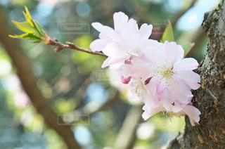 ソメイヨシノ - No.968275