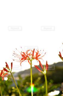 彼岸花の写真・画像素材[1021959]
