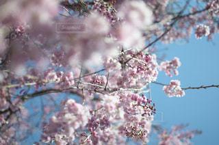 桜の花の写真・画像素材[1050545]