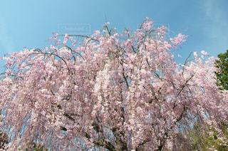 見事な枝垂桜の写真・画像素材[1050583]