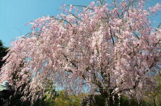 立派な枝垂桜の写真・画像素材[1050584]