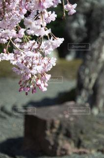 枯山水と枝垂桜の写真・画像素材[1050619]