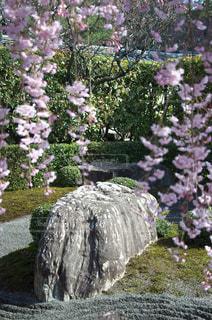 枯山水と枝垂桜の写真・画像素材[1050621]