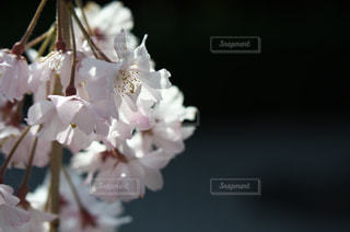 枝垂桜の写真・画像素材[1050622]