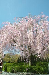 見事な枝垂桜の写真・画像素材[1050623]