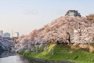 千鳥ヶ淵の桜の写真・画像素材[1088006]