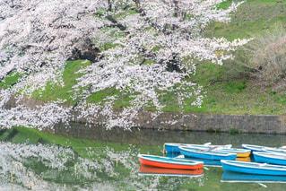 千鳥ヶ淵の桜の写真・画像素材[1096012]