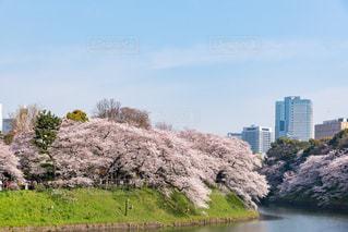 千鳥ヶ淵の桜の写真・画像素材[1096180]