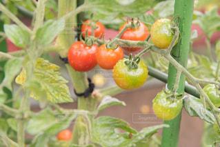 朝採れトマトの写真・画像素材[1505680]