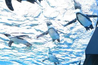 空飛ぶペンギンの写真・画像素材[734312]