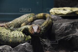近くに爬虫類のアップの写真・画像素材[735365]