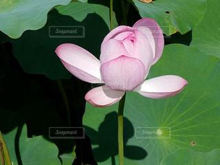 少し開いた蓮の花♪の写真・画像素材[735635]