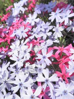 芝桜のカーペット - No.740476