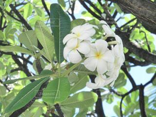 ハワイのプルメリア - No.740480