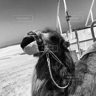 ラクダの写真・画像素材[47168]