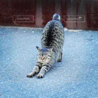 伸びをする猫の写真・画像素材[925981]