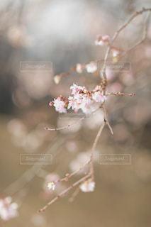 ジュウガツザクラの花の写真・画像素材[936577]