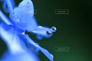 しずくのある紫陽花の写真・画像素材[937973]